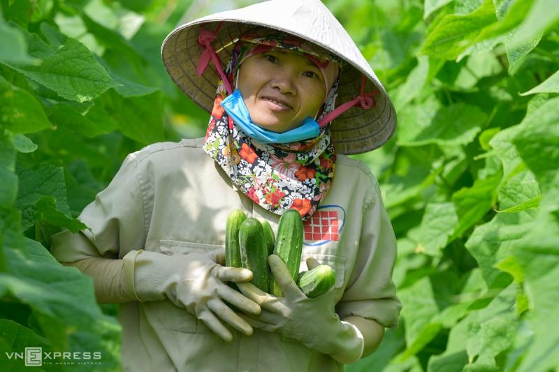 Thanh Hoa's largest cucumber growing region set for bumper crop