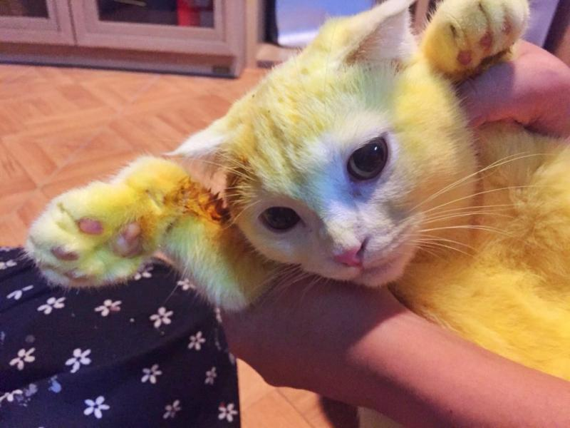 Thai Lady Turned Her Cat Yellow Trying To Save Its Life!