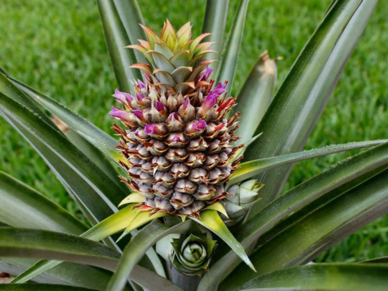 10 Facts About Pineapples You Never Knew